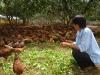 Thu tiền tỷ từ nuôi gà thả vườn